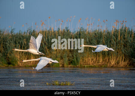 Swans take off and flying over water in the Danube Delta - Stock Photo