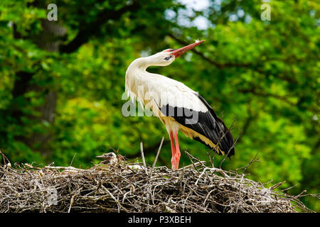 White storks (Ciconia ciconia) greeting in the nest, Switzerland. - Stock Photo