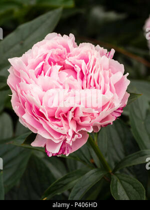 Heavily doubled fragrant pink flower of the early summer blooming herbaceous peony, Paeonia lactiflora 'Sarah Bernhardt' - Stock Photo