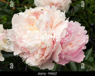 Heavily doubled fragrant pink flowers of the early summer blooming herbaceous peony, Paeonia lactiflora 'Sarah Bernhardt' - Stock Photo