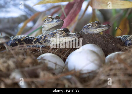 Newborn alligator near the egg laying in the nest. - Stock Photo