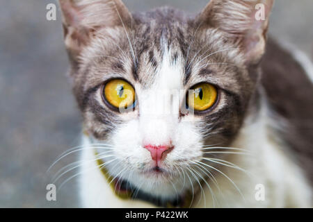 Portrait of yellow eyed tabby cat. Kitty isolated on background.Copy space. - Stock Photo
