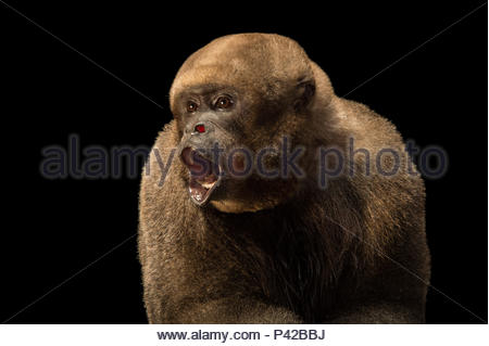 A brown woolly monkey, Lagothrix lagothrica lagothrica, at Piscilago Zoo. - Stock Photo