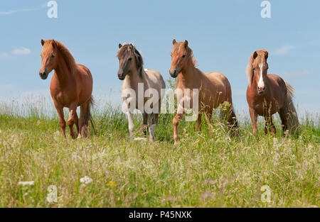 Four Icelandic horses standing in a green grass meadow, young stallions with different coat colors, chestnut, mouse dun tobiano and red dun, Germany - Stock Photo