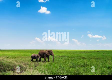 Browsing African elephants or Loxodonta cyclotis - Stock Photo