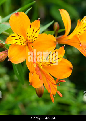 Orange flowered form of the Peruvian lily, Alstroemeria aurea (A.aurantiaca), blooming in Early summer. - Stock Photo