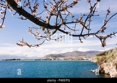 Ohrid, Republic of Macedonia : Almond tree by the shore of the Unesco listed Ohrid lake. - Stock Photo