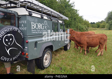 Curious cows sniffing a landrover belonging to the Bucks Owl and Raptor Group - Stock Photo
