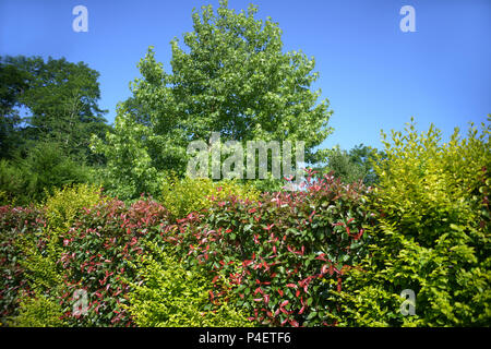 Multi-Coloured domestic hedge around a private property in Roézé-sur-Sarthe, Pays-de-la-Loire in north-western France. - Stock Photo