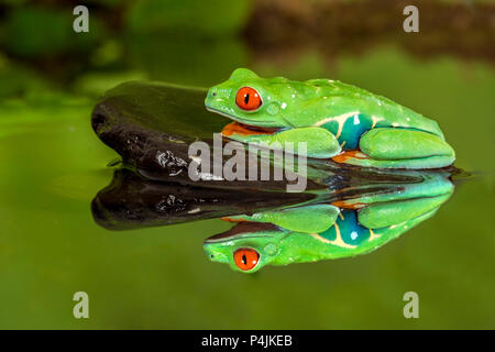 Red-eyed tree frog on rock in water - Stock Photo