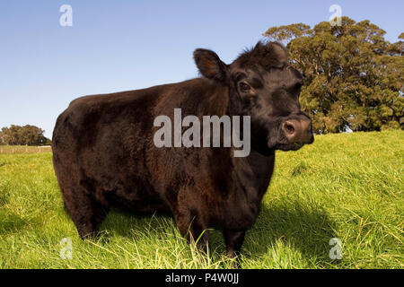 A dark coloured cow in a green field in the south west of Australia. - Stock Photo
