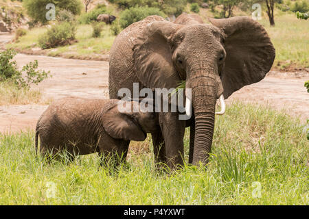 African Elephant (Loxodonta africana) calf attempting to nurse while mother is feeding in Tarangire National Park, Tanzania - Stock Photo