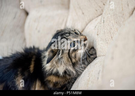 A portrait of the Russian Siberian cats. The cat is preparing to jump. Copy space. - Stock Photo