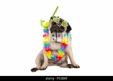 cute smart pug puppy dog sitting down wearing hawaiian flower garland and green goggles and snorkel, isolated on white background - Stock Photo