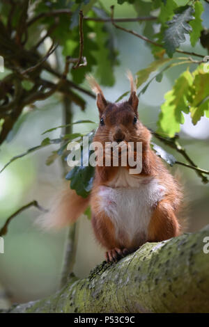 A female Brownsea Island Red Squirrel feeding in an oak tree - Stock Photo