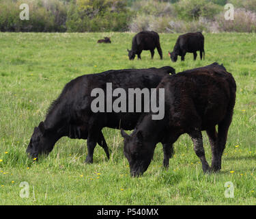 Four adult Black Angus or Aberdeen Angus cows grazing in a lush green pasture with a calf resting in the background. Photographed with shallow depth o - Stock Photo