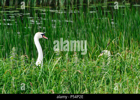 Swans at Ouse Washes Nature Reserve, Cambridgeshire, Norfolk. RSPB. Female on nest - look to the right in the reeds. - Stock Photo