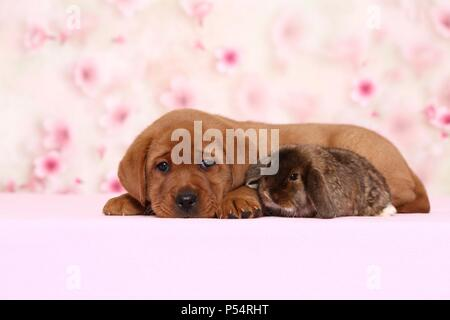 Labrador Retriever puppy and bunny - Stock Photo
