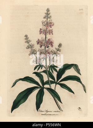 Pink flowered chaste tree, Vitex agnus castus. Handcolored copperplate engraving from a botanical illustration by James Sowerby from William Woodville and Sir William Jackson Hooker's 'Medical Botany' 1832. The tireless Sowerby (1757-1822) drew over 2,500 plants for Smith's mammoth 'English Botany' (1790-1814) and 440 mushrooms for 'Coloured Figures of English Fungi ' (1797) among many other works. - Stock Photo