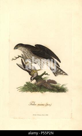 Eurasian sparrowhawk, Accipiter nisus, female. Handcoloured copperplate drawn and engraved by George Graves from his own 'British Ornithology,' Walworth, 1821. Graves was a bookseller, publisher, artist, engraver and colorist and worked on botanical and ornithological books. - Stock Photo