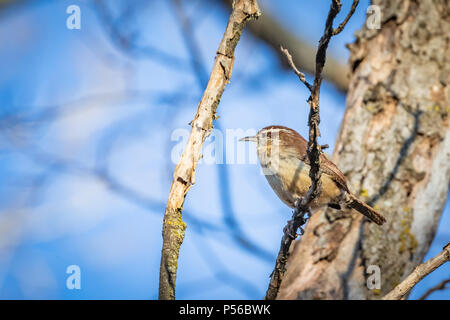 A Carolina Wren (Thryothorus ludovicianus) perched in a winter tree. - Stock Photo