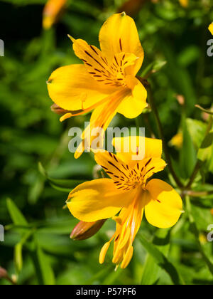Yellow flowered form of the Peruvian lily, Alstroemeria aurea (A.aurantiaca), blooming in early summer. - Stock Photo