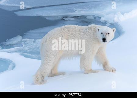 Polar Bear walking through snow - Stock Photo