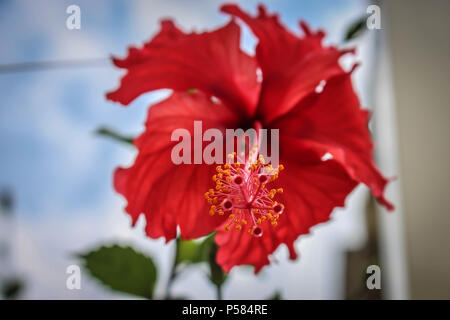 Single red flower of Hibiscus psyche - Stock Photo