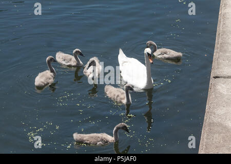 London UK. 27th June 2018. Swan and cygnets enjoy the sunshine in Regents Canal on another hot day in the capital with temperatures reaching the high twenties Credit: amer ghazzal/Alamy Live News - Stock Photo