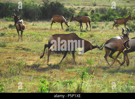 A natural scene of Red Hartebeest charging others who are running away in South Africa.  Please note the motion blur is due to animals running. - Stock Photo