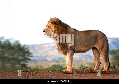 Male lion Panthera leo viewed at eye level and standing in profile in African game reserve - Stock Photo