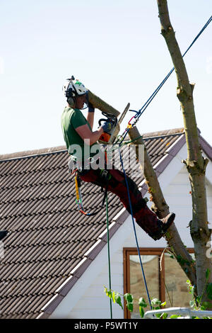 Tree surgeon working with a chainsaw and approved safety equipment to safely fell a large garden tree - Stock Photo