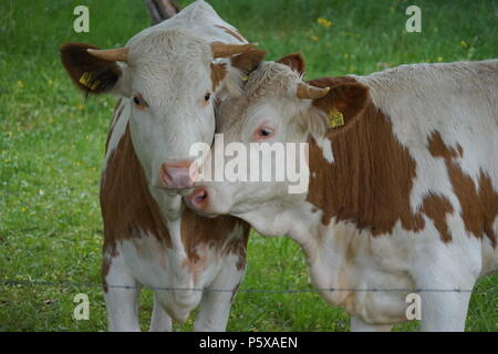 Two young Bulls on the Pasture, Southerm Germany, Europe - Stock Photo