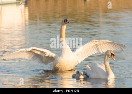 Mute Swan parents, pair, with babies, cygnets, swimming with babies around them, father, cob, male, with wings outstretched, Cygnus olor, May, Norfolk - Stock Photo