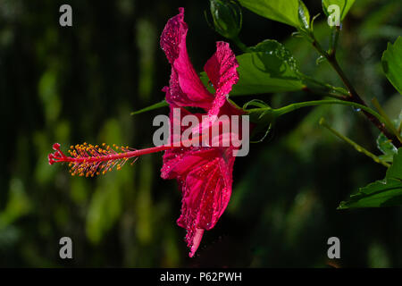 A bright red hibiscus trumpet-shaped flower with yellow stamens - Stock Photo