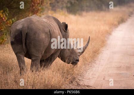 White Rhino on roadside - Stock Photo