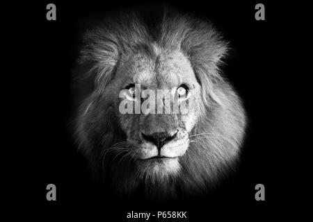 Powerful full frontal black and white portrait image of a majestic male lion with piercing eyes - Stock Photo