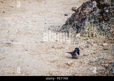 Bird roaming around in Joshua Tree National Park - Stock Photo