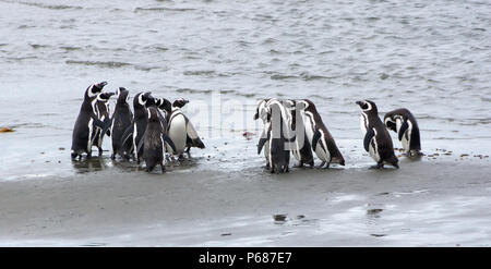 Group of Magellanic penguins on the coast of the ocean in Patagonia, Chile.Magellanic penguin (Spheniscus magellanicus) is a South American penguin, b - Stock Photo