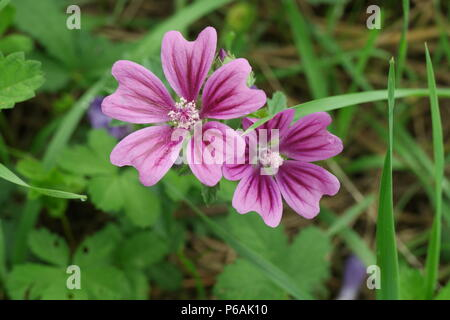 Malva sylvestris (Wilde Malve) (Common Mallow) - Stock Photo