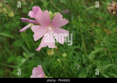 Malva alcea (Rosen-Malve) (Greater Musk-Mallow) - Stock Photo