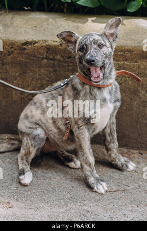 cute little grey puppy with collar sitting and yawning in city street.  sweet doggy with sad eyes, waiting outdoors. funny homeless dog looking for ho - Stock Photo