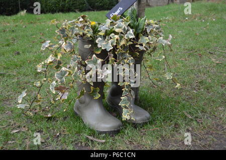 Wellington boot plant pots over flowing with ivy strands. - Stock Photo