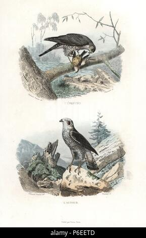 Eurasian sparrowhawk, Accipiter nisus, and northern goshawk, Accipiter gentilis. Handcoloured engraving on steel by Fournier after a drawing by Edouard Travies from Richard's 'New Edition of the Complete Works of Buffon,' Pourrat Freres, Paris, 1837. - Stock Photo