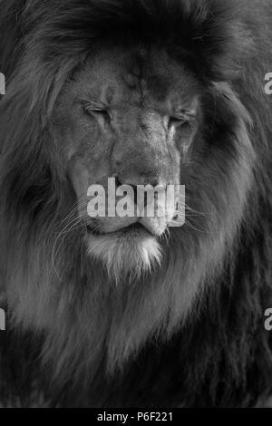 Male lion close up black and white portrait - Stock Photo