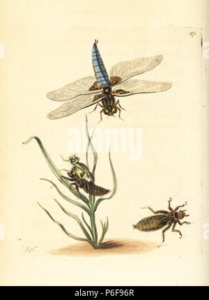Broad-bodied chaser or darter, Libellula depressa. Formerly the depressed libellula. Flying adult, adult emerging from the nymph, and nymph. Illustration drawn and engraved by Richard Polydore Nodder. Handcoloured copperplate engraving from George Shaw and Frederick Nodder's 'The Naturalist's Miscellany,' London, 1801. - Stock Photo