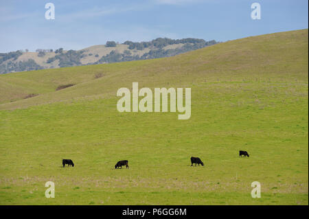 Cattle grazing on a hill in wine country outside of Rohnert Park, California - Stock Photo
