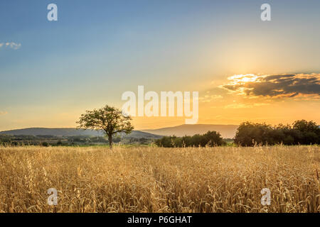 Idyllic, lonely tree on the golden, sunlit field of wheat during burning sunset and gradient in the sky - Stock Photo