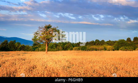 Lonely tree on the field of wheat during golden hour - Stock Photo