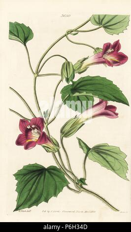 Climbing snapdragon vine, Lophospermum scandens. Handcoloured copperplate engraving by Swan after an lllustration by Walter Hood Fitch from William Jackson Hooker's Botanical Magazine, London, 1838. - Stock Photo